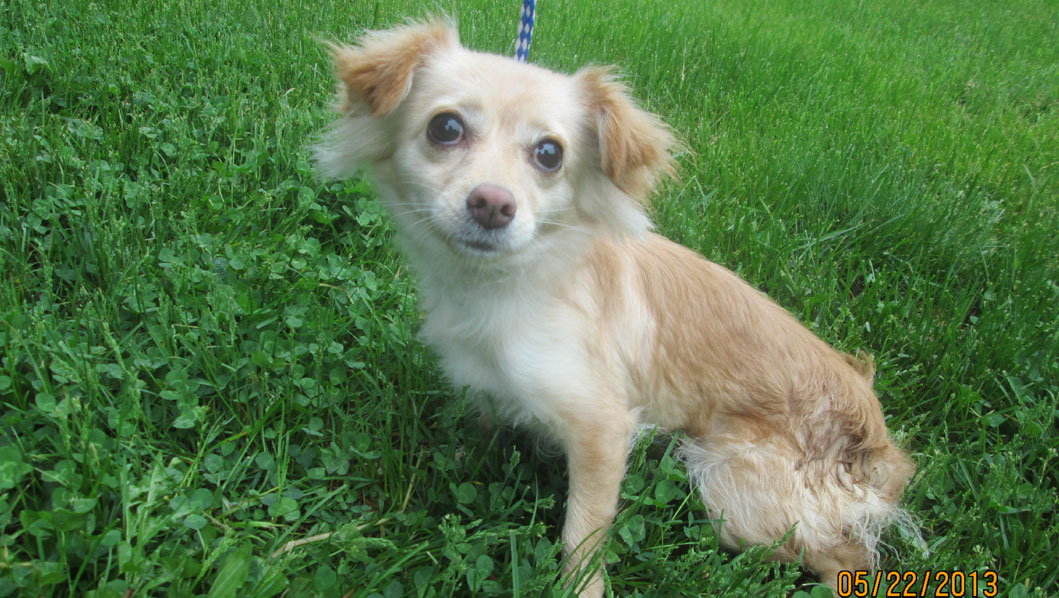 SPCA of CT: Chiwawa mix