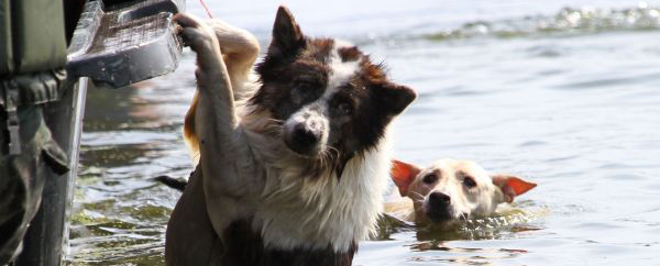 Dogs swimming through flooded water